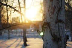 бÐΜÑ€ÐΜза, σημύδα και φως Στοκ Φωτογραφίες