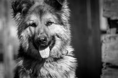 Ð ¡ Ð ¾ бака γερμανικό Shepard Στοκ φωτογραφίες με δικαίωμα ελεύθερης χρήσης