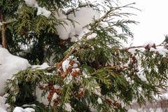 ½ а ÑˆÐ¸ÑˆÐºÐ°Ñ ³ Ð ½ ÐΜÐ  Ð Ñ… ‹'Ñ ¿ их Ñ Ð; Украина; Киев; снег на конусах ели Стоковые Фото