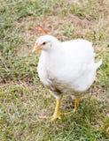 Ð ¡ σε ένα φάρμα πουλερικών Στοκ Εικόνες