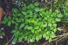 """Ð """"Ð ¾ рР½ Ð ¾ е Ñ€Ð°Ñ  Ñ 'ÐΜÐ ½ иÐΜ 山植物 山的绿色盖子 图库摄影"""