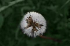 Ð ¡丢失在绿草背景的白色蒲公英  库存图片