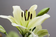 Мadonna lily flower Stock Image