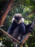 Ð-apa på ett träd Arkivfoto