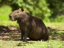 Ð ¡ apybara (Hydrochoerus hydrochaeris) Obraz Royalty Free