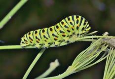 Ð ¡ aterpillar swallowtail 6 免版税库存图片