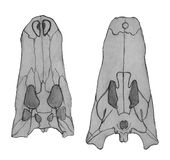 Ð ¡ cranium rocodile kości Ręka rysunku nakreślenia ilustracja ilustracji