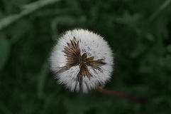 Ð-¡ förlorar-upp av den vita maskrosen på en bakgrund av grönt gräs Arkivbilder