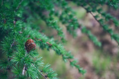 Ð ¡ gubi piękne zielone modrzewiowe gałąź fotografia royalty free