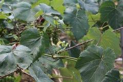 Тheir onrijpe druiven Stock Foto