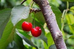 Ð-¡ herries Baum, Kirschen mit grünem Laub Lizenzfreie Stockfotos