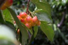 Ð-¡ herries Baum, Kirschen mit grünem Laub Stockbild
