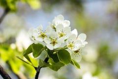 Ð ¡ herry kwiaty Zdjęcie Royalty Free