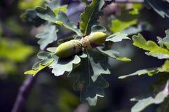 Ð  kukurudza na dębowym drzewie Obrazy Stock