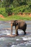 Ð•lephant im Fluss Lizenzfreies Stockfoto