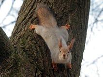  еllo di Ð Sono uno scoiattolo Fotografia Stock