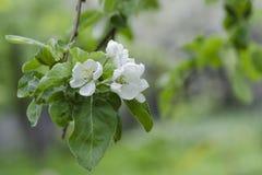 Ð'looming jabłoń Kwiaty zamykają up Selekcyjna ostrość zdjęcie stock