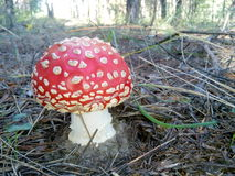¾ Ð Naturwaldpilzfliege Мух Ð ¼ Ð ¾ Ñ€-Schönheits-Rot a_lot_of_mushrooms Stockfotos