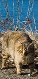 Ð  ngry怀孕的猫 免版税库存照片