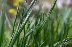 Дождевые капли, роса на черенок травы Лужайка после дождя стоковые фотографии rf