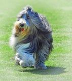 Домашние животные английской собаки проб овчарки тренируя стоковые фото