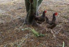 Домодельные цыплята в реальном маштабе времени на задворк в деревне стоковые изображения