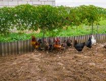 Домодельные цыплята в реальном маштабе времени на задворк в деревне стоковое фото rf