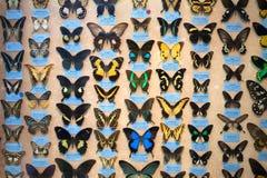 Ð-¡ ollection av fjärilar Royaltyfria Bilder