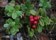 Ð ¡ owberry in het bos Royalty-vrije Stock Afbeeldingen