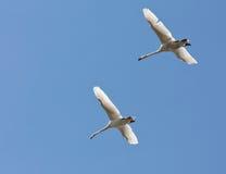 Ð parar av swans som flyger i blåttskyen Arkivfoto