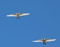 Ð parar av swans som flyger i skyen Arkivbild