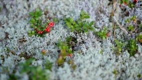 Ð ¡ ranberries Στοκ Εικόνα