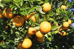 Оranges na árvore Imagens de Stock Royalty Free