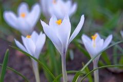 Ð ¡ rocus kwiat Zdjęcie Royalty Free