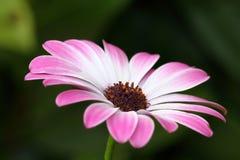 Оsteospermum kwiat Obraz Stock