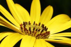 Оsteospermum kwiat Zdjęcia Royalty Free