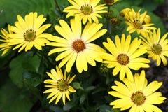 Оsteospermum kwiat Zdjęcia Stock