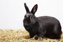 Ð ¡ urious嬉戏的黑兔子 免版税库存照片