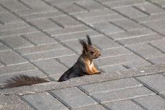 Ð-¡ urious Eichhörnchen Stockfoto