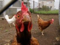Ð ¡ urious kurczak Obrazy Royalty Free