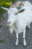 Ð-¡ urious Ziege, die Ihre Antwort wartet lizenzfreie stockfotografie