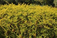 Иush mit orange Beeren im Park lizenzfreies stockfoto