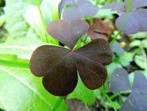 Оxalis en el bosque Foto de archivo libre de regalías