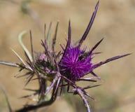 Ðryngium amethystinum Royaltyfri Foto