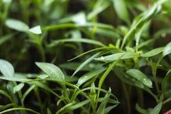 Саженцы перца - молодая зеленая листва болгарского перца с капельками воды на листьях Саженцы завода весны, предпосылка стоковое фото