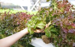 Салат красного дуба во времени сбора в моей ферме овоща стоковое фото