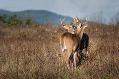 2 самца оленя холя один другого стоковые изображения