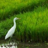 Самостоятельно восточный Egret скотин стоковая фотография