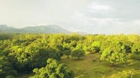 Сад вида с воздуха тропический с деревыми манго на ландшафте горы и неба Сад и плод манго зеленого цвета взгляда трутня акции видеоматериалы