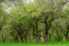 Сад вишни Вишня ствола дерева в ряд стоковое фото rf